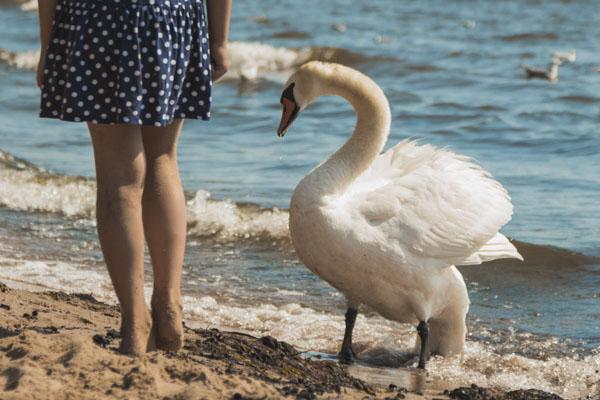 Swan following girl