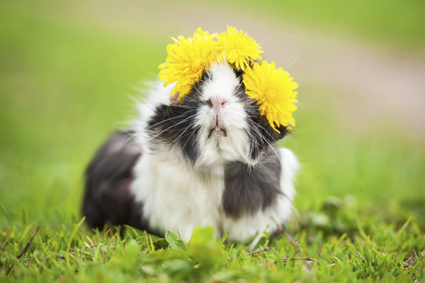 Guinea pig with flowers in hair