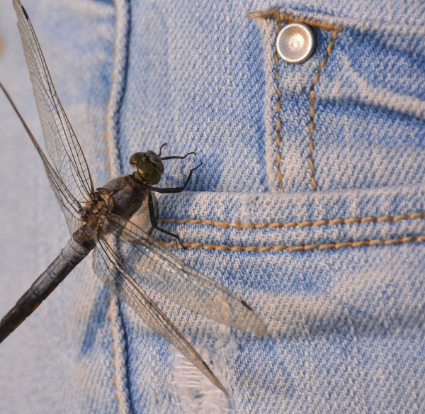 Dragonfly on pocket