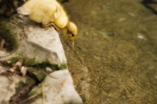 Duckling at edge of water