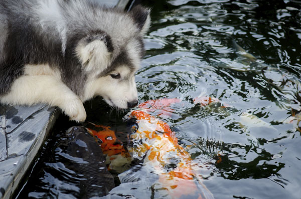 Siberian husky kissing koi fish