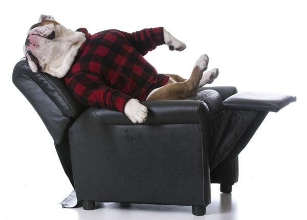 Bulldog on recliner