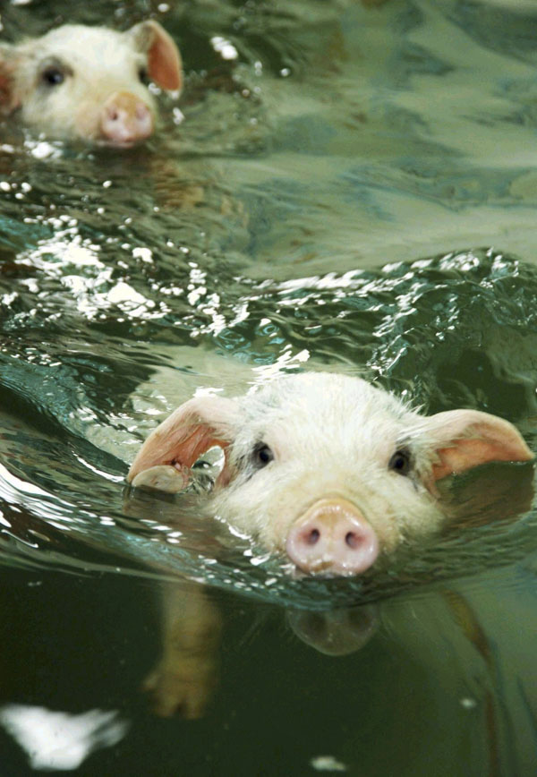 Piglets swimming in ocean