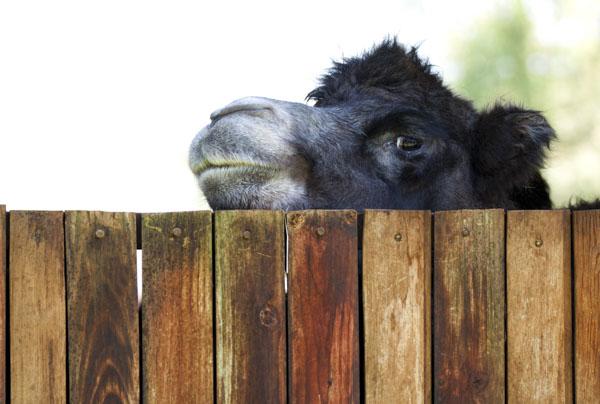 Camel peeking over fence