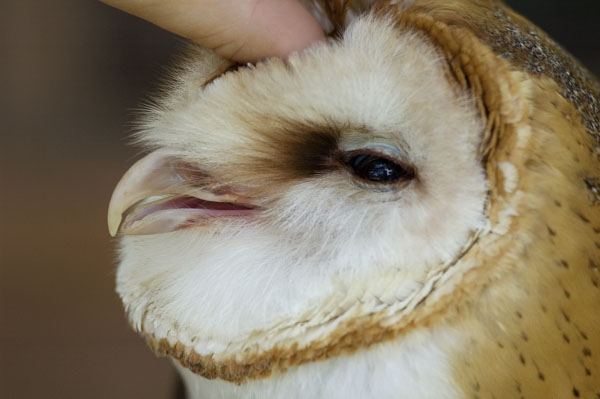 Barn owl getting petted