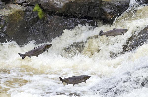 Salmon swimming to spawn