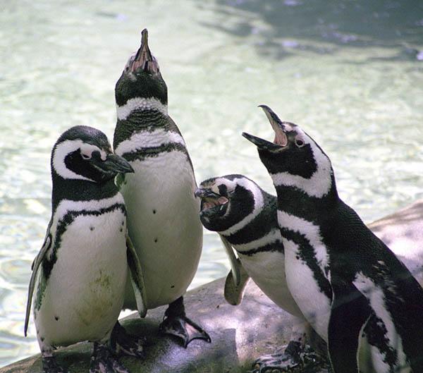 Penguin Quartet