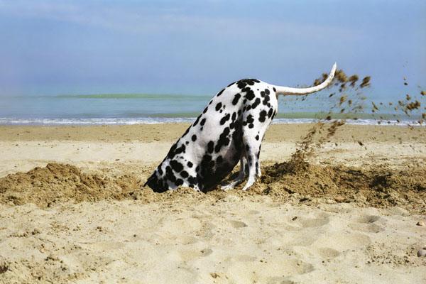 Dog digging at the beach
