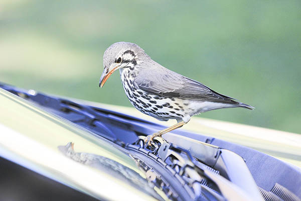 A bird inspects its own reflection in a car window