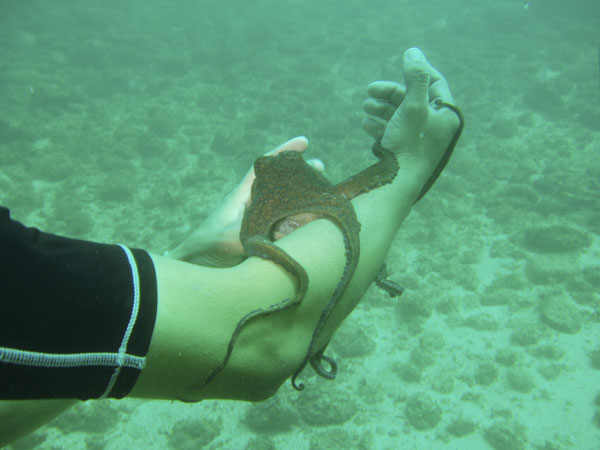 Octopus crawling on snorkeler's arm