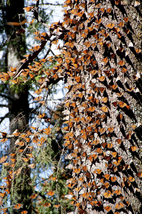 Butterfly cluster on tree
