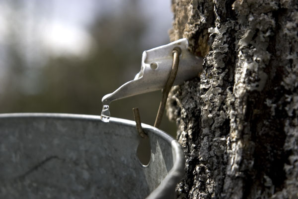 Tree tapped for maple syrup
