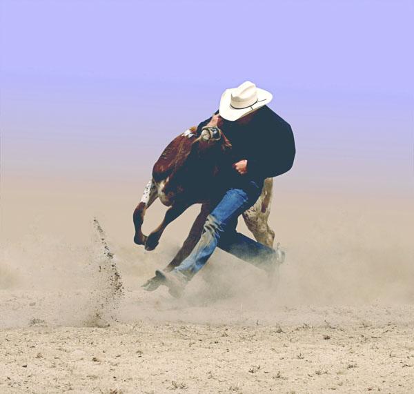Cowboy wrestling steer