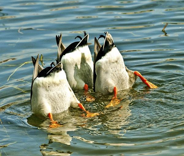 Three ducks looking below water