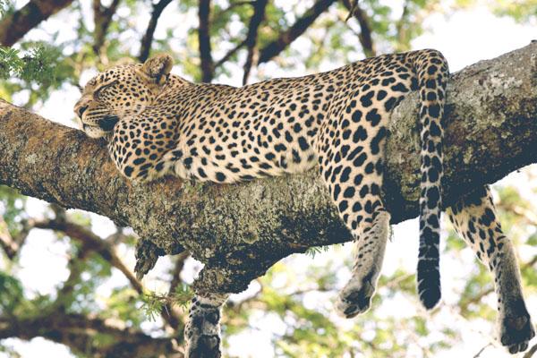 Leopard in tree sleeping