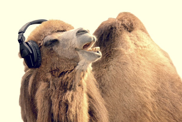 Camel singing with headphones