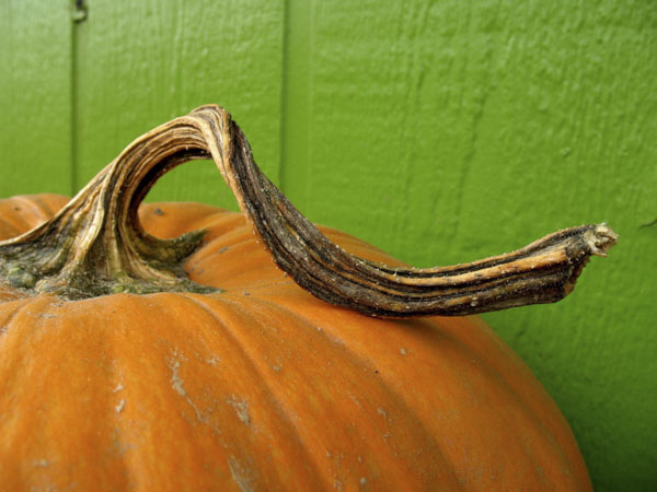Pumpkin with beautiful twisted stem