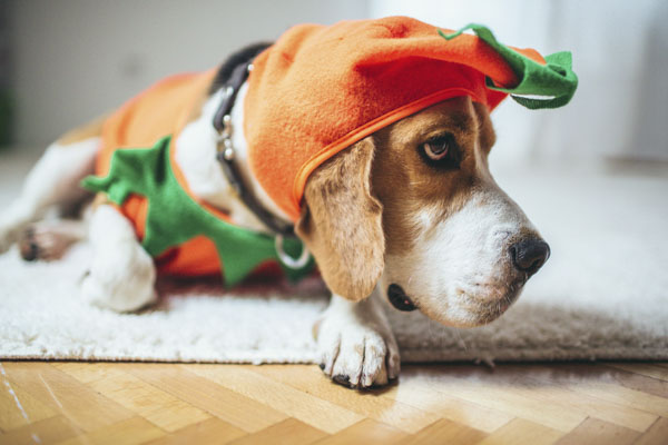 Beagle dog in a pumpkin costume