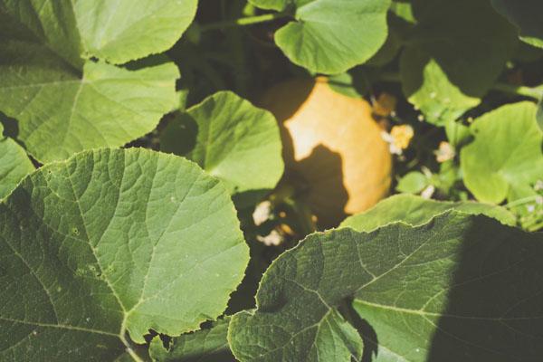 Pumpkin hidden behind leaves
