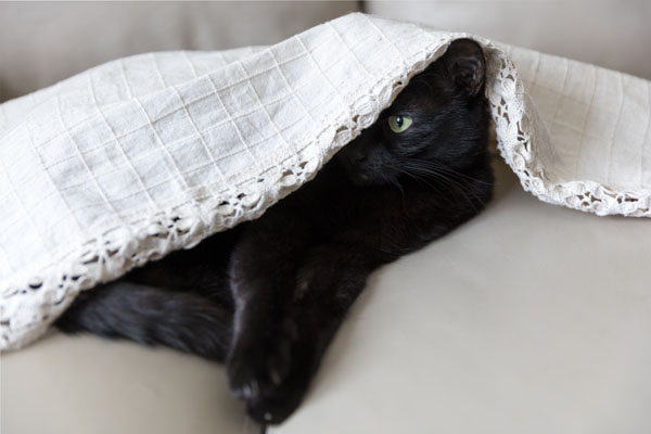 Black cat under covers