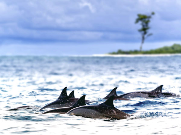 Dolphin pod swimming out to sea