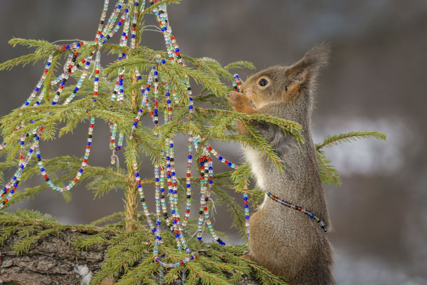 Squirrel decorating Christmas tree