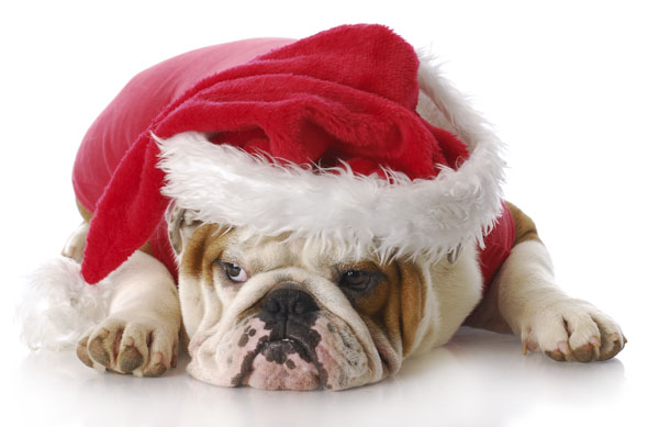 Bulldog with Santa hat