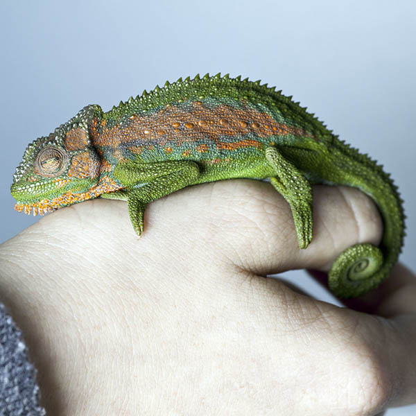 Chameleon curled up on hand