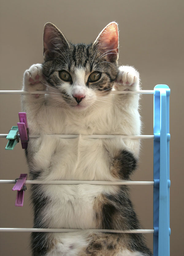 Cat letting it all hang on clothes drying rack