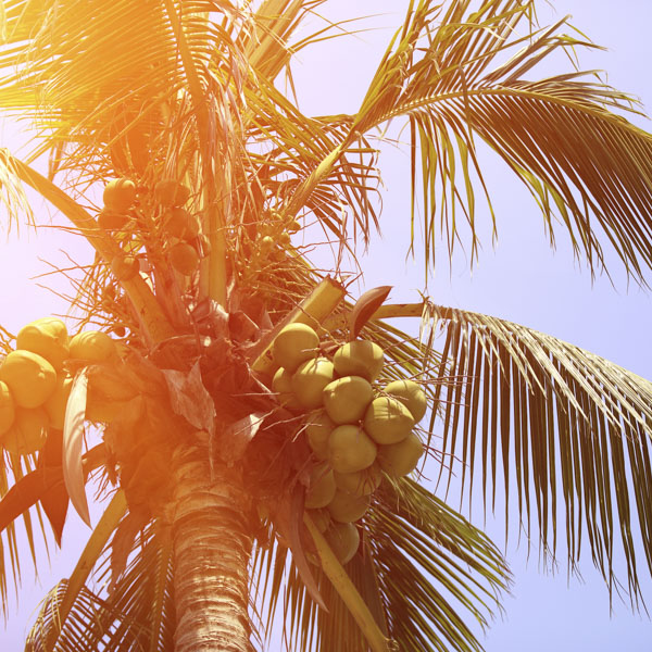 Looking up at coconuts on palm tree
