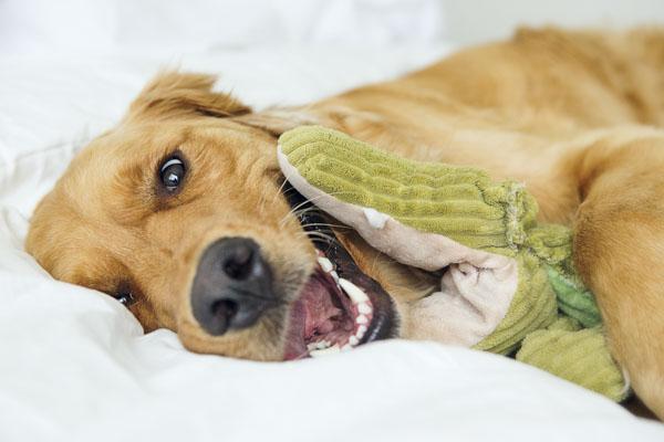 Golden Retriever dog with alligator toy