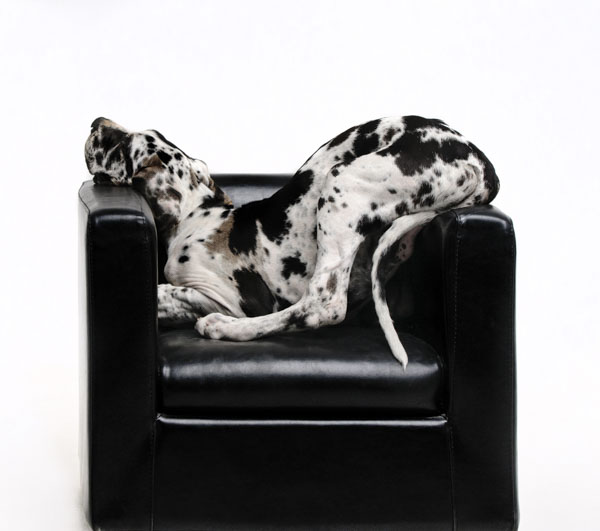 Great dane trying to fit in armchair