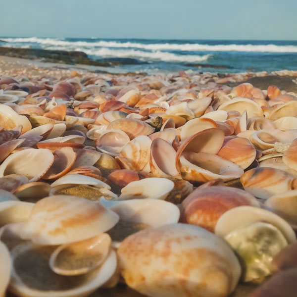 Shells covering beach