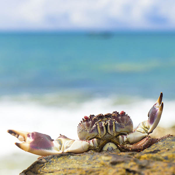 Crab on beach with claws wide open ready to receive