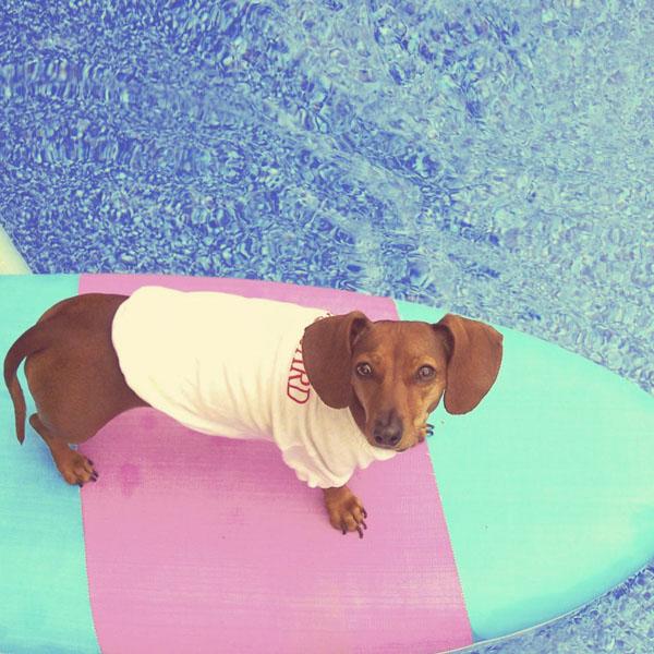 Dog lifeguard on surfboard