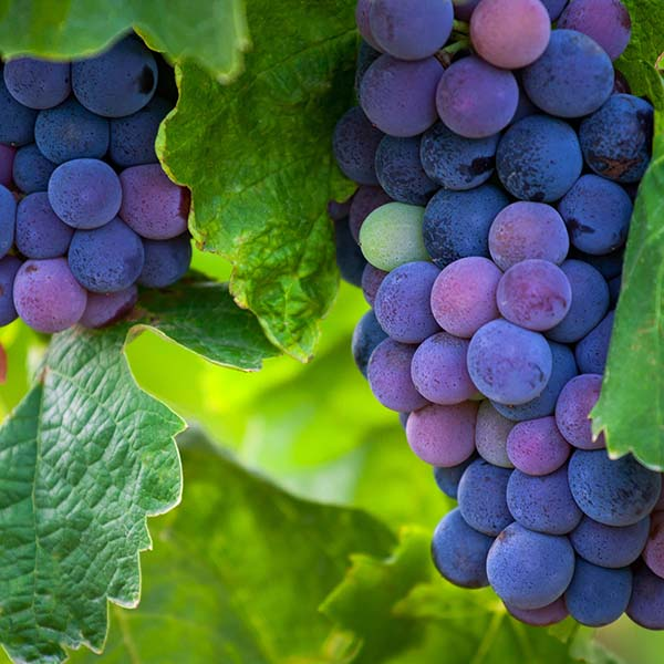 Cluster of wine grapes on vine