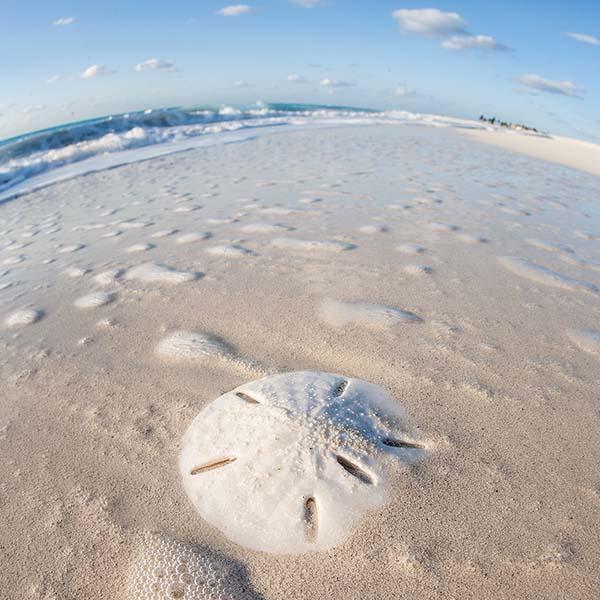 Sandollar on beach