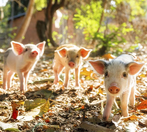 Three little piggys