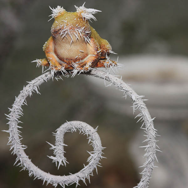Frozen frog on gate with icicles