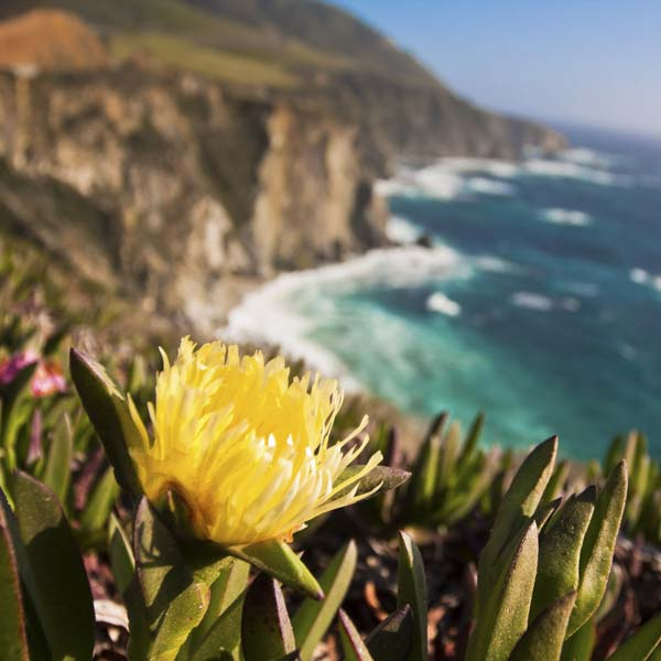 Yellow flower opening at Big Sur, California