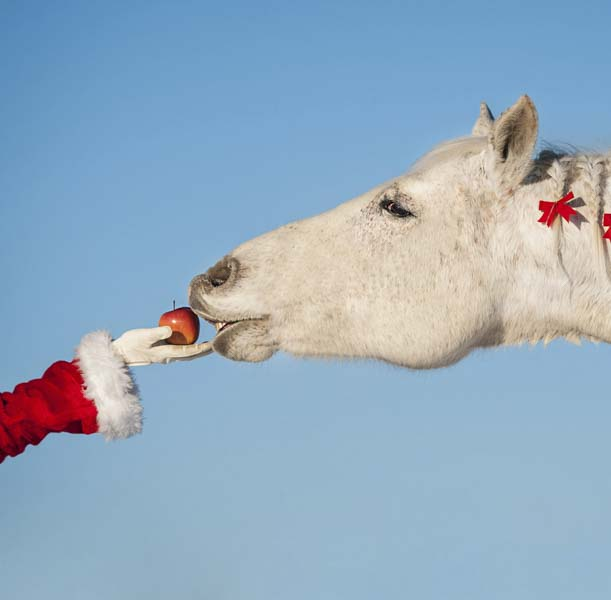 Miss Claus giving apple to beautiful white horse