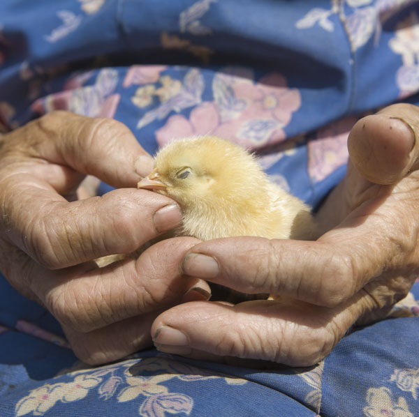 Chick being held by grandmother
