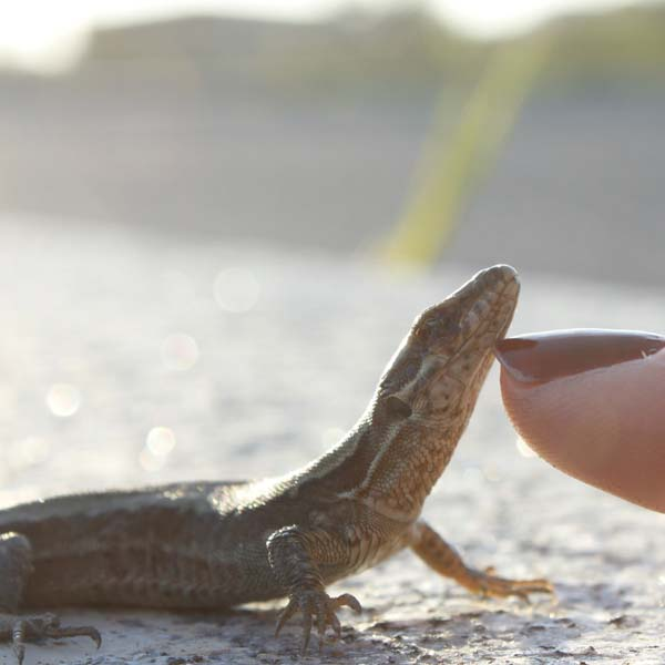Lizard being petted