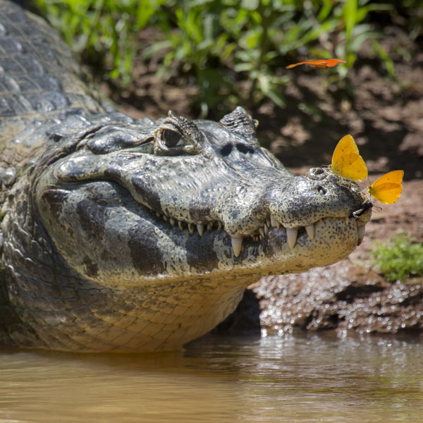 Alligator with butterflies on its nose