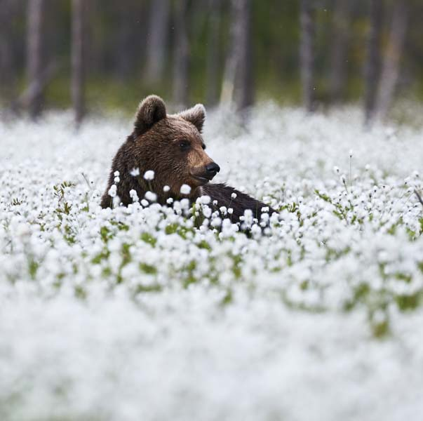 Bear in meadow of flowers