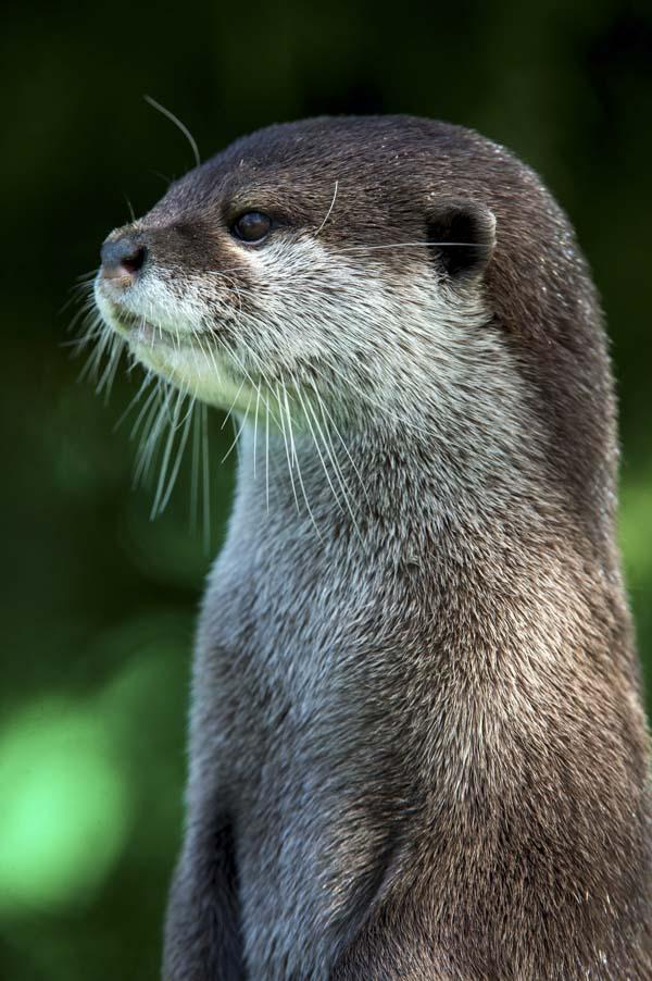 Beautiful sea otter standing