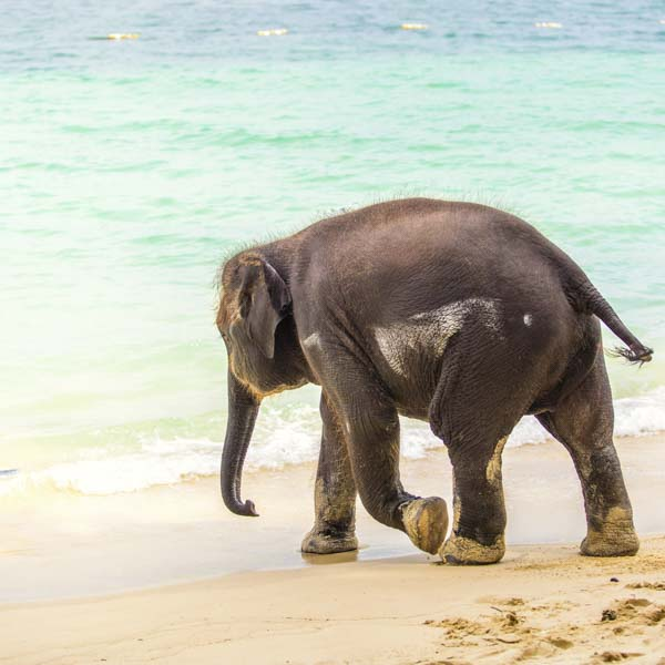Sand-covered elephant walking into the ocean