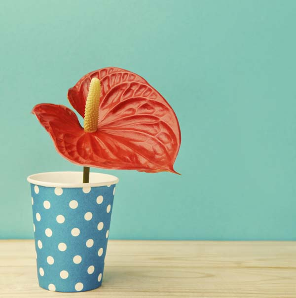 Anthurium flower in paper cup