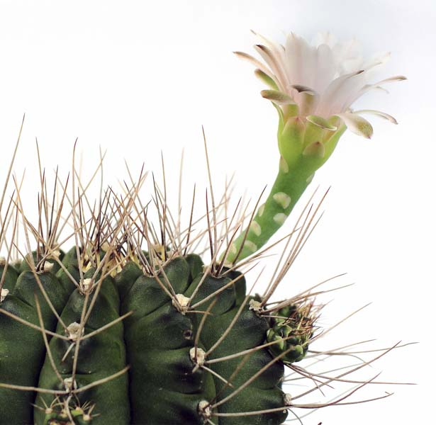 Cactus with blooming flower