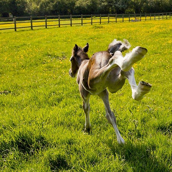 Young foal running and bucking